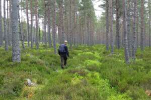 Surveying for capercaillie