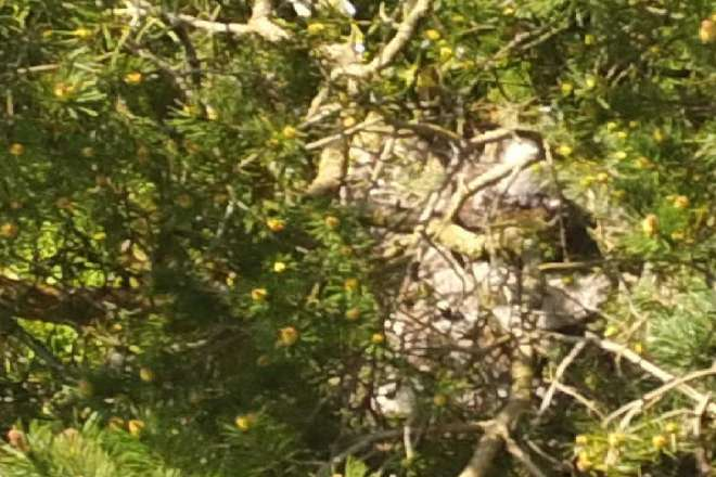 Close up of buzzard nest (3 chicks present)