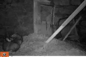Badgers at sett entrance