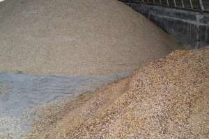 Grain - another badger food source