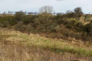 Dense gorse provides good cover for badger setts