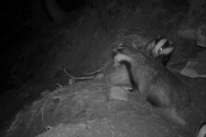 Badgers recorded at a sett using a remote wildlife camera