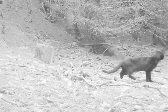 This cat appeared at a remote badger sett