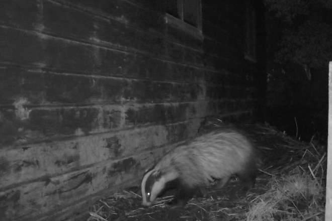 Badger recorded close to sett