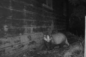 Badger entering sett