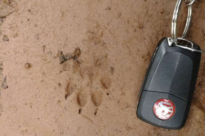 Print of a pine marten in mud