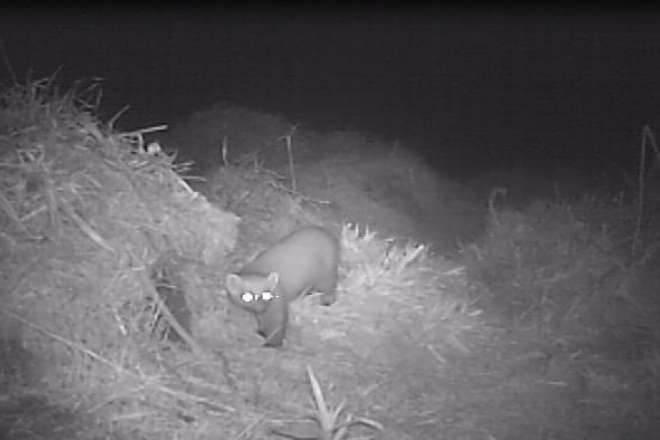 Pine marten captured on a remote camera