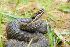 An adder recorded during a reptile survey