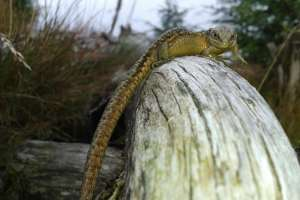 Common lizard recorded during survey